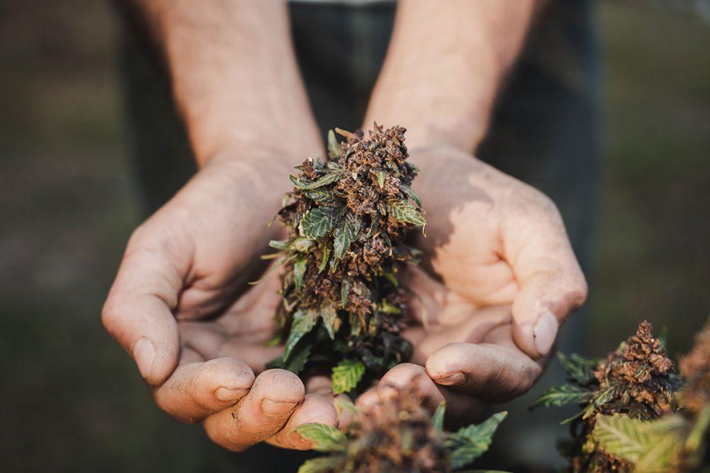 fleur cannabis